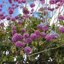 Pau D'arco Bark, Powder (Tabebuia impetiginosa) - Herbal Healing Inc.