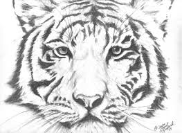 tiger face drawing pencil. Exellent Face Wildlife Pencil Drawings For Sale  Buy Artworks Intended Tiger Face Drawing F