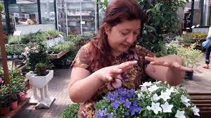 Consigli utili su come coltivare la campanula isophylla - YouTube