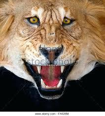 lion head rug polar
