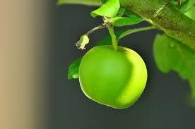 fruit trees wallpapers. Interesting Trees Apple Green Tree Kernobst Intended Fruit Trees Wallpapers R