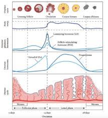 The Menstrual Cycle Vios Fertility Institute