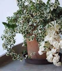 office plants no light. Brilliant Office Variegated Creeping Fig_mini On Office Plants No Light