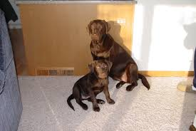 Labrador Weight Chart By Age Labrador Retriever Weight Scale What To Expect