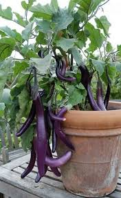 growing vegetables in pots outdoors 452 best container ve able gardens images on