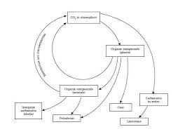 how does carbon cycle through the biosphere socratic ncert class 9