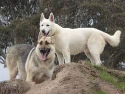 white german shepherd mixed black tan german shepherd.  Mixed Despite Our Black And Tan German Shepherd Eva Also Being A Dedicated  Loyal Loving Companion We Had Become Intrigued By The Whites To White Shepherd Mixed Black Tan