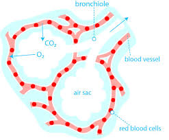 Blood Oxygen Level Chart Body How Does Oxygen Get In The Blood British Lung Foundation