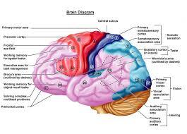 Brain Chart Brain Chart Brain Diagram Human Brain Cerebral Cortex