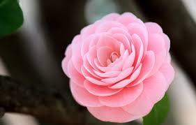 Wallpaper flower, macro, pink, Camellia ...