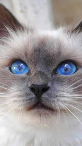 Small Picture kitty cat face color furry blue eyes cute animal nature