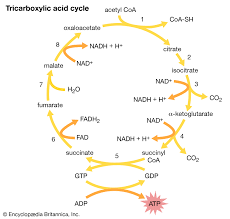 Complete The Chart For The Stages Of Cellular Respiration Tricarboxylic Acid Cycle Biochemistry Britannica