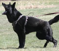 black german shepherd puppies for sale. Beautiful Shepherd Black German Shepherds Throughout Shepherd Puppies For Sale