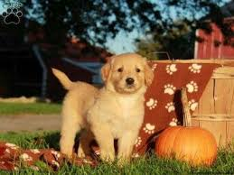 yellow golden retriever puppy. Wonderful Golden Discover Ideas About Golden Retrievers For Sale Yellow Retriever  Puppies  Throughout Puppy