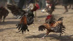 Hasil gambar untuk sabung ayam s12