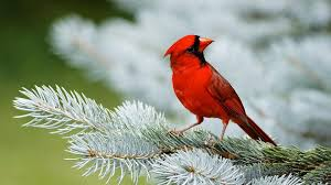 bird desktop wallpaper hd.  Bird Red Cardinal Bird In Desktop Wallpaper Hd