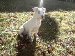 white pitbull terrier puppies. Fine Terrier White American Pitbull Terrier 2011 On Puppies F