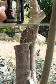 Grafting Fruit Trees  Z Grafting CitrusHow To Graft Fruit Trees With Pictures