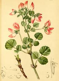 Ononis rotundifolia - Wikipedia