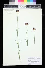 SEINet Portal Network - Dianthus furcatus