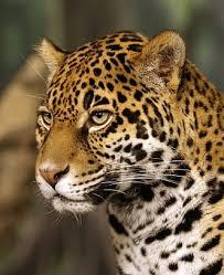 cute amazon rainforest animals. Jaguar On Cute Amazon Rainforest Animals