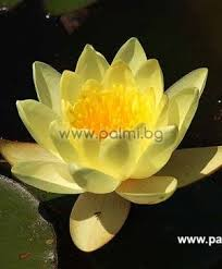 Palm beach island resort and spa male, maldives, get directions. Nymphaea Alba Yellow Yellow Water Lily