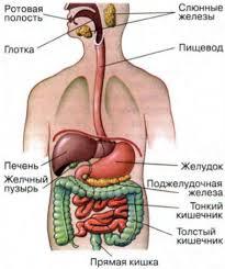 Питание и его значение Органы пищеварения и их функции Биология Органы пищеварительной системы