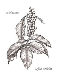 coffee bean plant illustration. Delighful Coffee The Images Collection Of Botanical Illustration Pencil And In Color Intended Coffee Bean Plant Illustration A