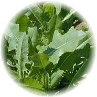Lettuce Opium