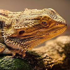 petsmart reptiles for sale. Simple Petsmart 2 Bearded Dragon With Petsmart Reptiles For Sale