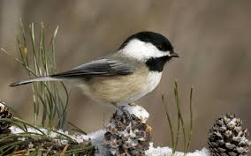winter animal nature backgrounds. Delighful Nature Winter Chickadee To Animal Nature Backgrounds O