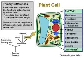 One part of a plant cell that plays an important role in photosynthesis is a structure called a chloroplast. Plant Cells Vs Animal Cells With Diagrams Owlcation