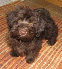 Small Picture Havanese looks just like Coco Wonderland Pinterest