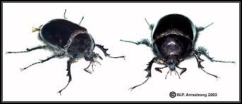 Black Beetle Identification Chart Beetles
