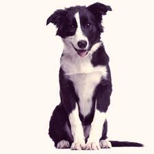 border collie a complete breed and