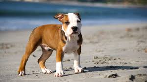 cute pitbull puppies wallpaper. Delighful Cute 1280x1024  For Cute Pitbull Puppies Wallpaper I