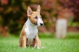 miniature bull terrier. Unique Miniature 2073153092x2061Bullterrierjpg For Miniature Bull Terrier T