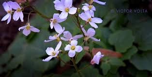 mt diablo wildflowers possibly milk maids