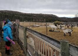the goats at dawn kay s farm await the next cl of goat yoga partints dawn kay