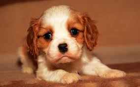 blenheim cavalier king charles puppy picture