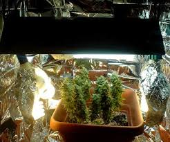 aerogarden cannabis harvest. view marijuana plant in the full setup aerogarden cannabis harvest
