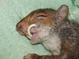 Grey Squirrel Age Chart Squirrel Survival Mortality Wildlife Online