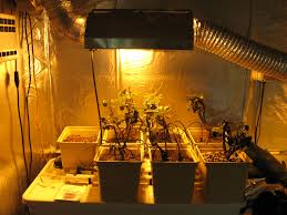 a rose grower has chosen to use high pressure sodium light to grow their roses indoors