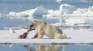 what do polar bears eat and how is their food threatened  polear bear eating