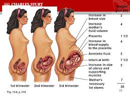 size g breast pictures topic 15 diet and life cycle pregnancy and lactation brian spurrell