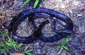 Black Snake With Diamond Pattern Best Design Inspiration