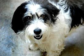 black and white terrier mix. Brilliant Terrier Black And White Poodle Terrier Mix Chihuahua  Pets For UPets L