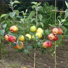 Best 25 Prune Fruit Ideas On Pinterest  Pruning Fruit Trees How To Graft Fruit Trees With Pictures