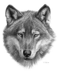 gray wolf face drawing. Perfect Drawing Free Printable Wolf Heads  Wolf Face Drawing Face G084 Art Print  Art Pinterest Drawing And With Gray