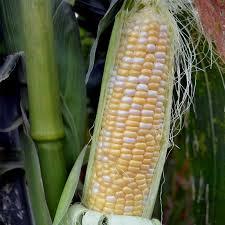 serendipity hybrid triplesweet corn garden seeds 50 lb bulk non gmo